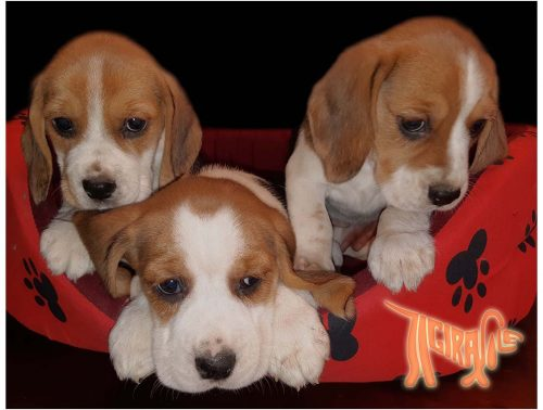 BEAGLE with Pedigree Roi