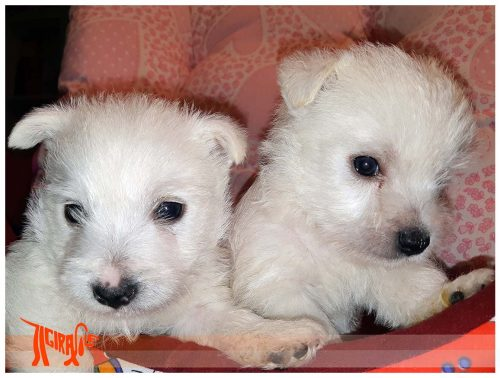 WEST HIGHLAND WHITE TERRIER with Pedigree Roi