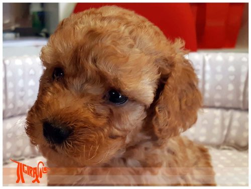 APRICOT POODLE with Pedigree Roi